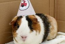 Guinea pigs and rabbits / Rabbit and guinea pig housing inspiration, looking after rabbits and guinea pigs.