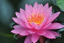 Lotus and Water Lillies / Definition of water lily from the Merriam-Webster Online Dictionary with audio ... The lotus of ancient Egyptian art was usually the blue lotus (N. caerulea).