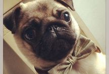 George / George, our little pug and shop helper