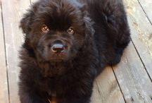 «Dina» Bikkjehaugens Peace of mind / My Newfoundland dog