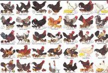 chickens/ducks/turkeys