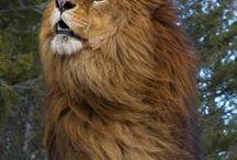 """Lions / """" Il n'est pas nécessaire d'être entouré pour être valorisé. Le lion marche seul alors que le mouton marche en troupeau """""""