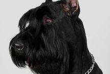 """Schnauzer - Melkor / """" nos amis les chiens ne nous font de la peine que lorsqu'ils meurent """" PASCAL"""
