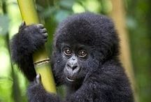Gorillas, Chimps & Monkeys / Visiting #Africa's #primates is undoubtedly one of the most rewarding African experiences we organise and a face to face encounter with a mountain #gorilla, the world's largest living primate, is an unforgettable event.  But don't forget the #chimps, #lemurs and monkeys!