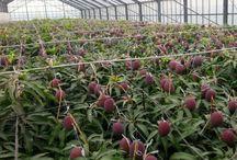 マンゴー  mango. / 安田農園鉢入り娘完熟マンゴー