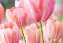 Tulipas  / Época de tulipa, muito amor! Ela dá um ar mais romântico ao casamento.