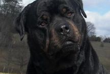 My Rottweilers / I have handled, raised, shown rotties for over 25 years. I own nothing but rotties.......  Here on the farm, there is no other breed perfect...... / by Sandra Gregory