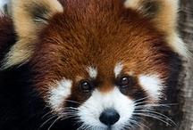 Pandas roux / by Cot Cot Cot