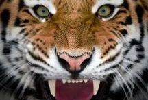 Tigres / by Cot Cot Cot