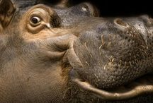 Hippopotames  / by Cot Cot Cot