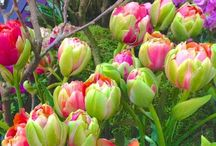 Tulip / The most painted flower, originated from Asia. National symbol of Holland - Tulips from Amsterdam