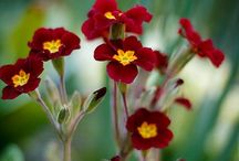 "Primrose / Primula comes from the Latin word ""primus"" (first).  Spring is coming!"