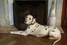 les dalmatiens & cie / ma chienne Etoile et ses copains