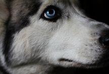Blue-eyed babies / Huskiesss!  / by Stephanie Ray