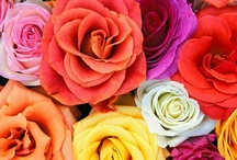 Roses Roses Roses / Beautiful Garden Roses Group Board. ONLY PIN PICTURES of ROSES