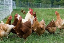 Raising Chickens  / How To Raise Backyard Chickens Group Board. Hi, If You Want To Join A Board, Please Mention In The (ADD A COMMENT) Section of Any Pin on The First Board (ADD ME) Board Which Board(s) (Up to 25 Boards) You Want To Join, I Will Do The Rest. {PLEASE READ} NO DOLLAR $IGNS, NO SPAM, NO PEOPLE or PET PHOTOS. Thank You  / by Gardening Group Boards