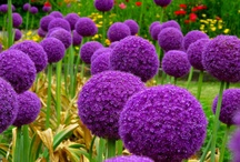 Allium Allium Allium  / Allium / Ornamental Onion Group Board. Hi, If You Want To Join A Board, Please Mention In The (ADD A COMMENT) Section of Any Pin on The First Board (ADD ME) Board Which Board(s) (Up to 25 Boards) You Want To Join, I Will Do The Rest. {PLEASE READ} NO DOLLAR $IGNS, NO SPAM, NO PEOPLE or PET PHOTOS. Thank You  / by ( Gardening Dig It )
