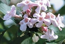 Abelia Abelia Abelia  / Abelia Group Board Gardening Hi, If You Want To Join A Board, Please Mention In The (ADD A COMMENT) Section of Any Pin on The First Board (ADD ME) Board Which Board(s) (Up to 25 Boards) You Want To Join, I Will Do The Rest. {PLEASE READ} NO DOLLAR $IGNS, NO SPAM, NO PEOPLE or PET PHOTOS. Thank You  / by ( Gardening Dig It )