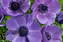Anemone / Anemones Group Board. Hi, If You Want To Join A Board, Please Mention In The (ADD A COMMENT) Section of Any Pin on The First Board (ADD ME) Board Which Board(s) (Up to 25 Boards) You Want To Join, I Will Do The Rest. {PLEASE READ} NO DOLLAR $IGNS, NO SPAM, NO PEOPLE or PET PHOTOS. Thank You  / by ( Gardening Dig It )