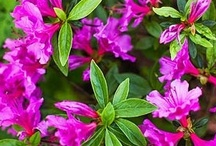 Azaleas Azaleas Azaleas  / Azaleas Group Board. Hi, If You Want To Join A Board, Please Mention In The (ADD A COMMENT) Section of Any Pin on The First Board (ADD ME) Board Which Board(s) (Up to 25 Boards) You Want To Join, I Will Do The Rest. {PLEASE READ} NO DOLLAR $IGNS, NO SPAM, NO PEOPLE or PET PHOTOS. Thank You  / by ( Gardening Dig It )