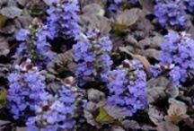 Ajuga Ajuga Ajuga  / Ajuga is one of the most indispensable groundcovers around. It has many uses and looks great much of the year. Also known as carpetweed or bugleweed, ajuga forms a 6-inch-tall mat of glossy leaves that always seem to look neat and fresh. In many cases, the leaves are colored with shades of purple, white, silver, cream, or pink. Perennial, 4-9 inches tall, Sun, Part Sun, Shade, Zones 4-10 / by ( Gardening Dig It )