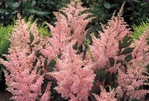 Astilbe Astilbe Astilbe  / Astilbe Group Board. Hi, If You Want To Join A Board, Please Mention In The (ADD A COMMENT) Section of Any Pin on The First Board (ADD ME) Board Which Board(s) (Up to 25 Boards) You Want To Join, I Will Do The Rest. {PLEASE READ} NO DOLLAR $IGNS, NO SPAM, NO PEOPLE or PET PHOTOS. Thank You  / by ( Gardening Dig It )