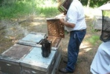 Backyard Beekeeping Tips / Raising Bees In Your Backyard (Beekeeping) Group Board. Hi, If You Want To Join A Board, Please Mention In The (ADD A COMMENT) Section of Any Pin on The First Board (ADD ME) Board Which Board(s) (Up to 25 Boards) You Want To Join, I Will Do The Rest. {PLEASE READ} NO DOLLAR $IGNS, NO SPAM, NO PEOPLE or PET PHOTOS. Thank You  / by ( Gardening Dig It )