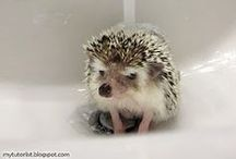 Our pet hedgehog