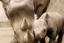 Hipopótamos e rinocerontes