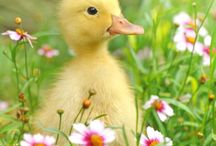 Patos e cisnes e galinhas