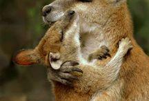Kangurus koalas