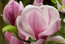 Flores -Magnólias