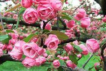 Flores - Camélias