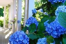 Flores-Hidrângeas Hortênsias