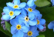 Flores-azuis