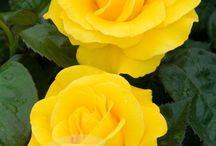 Flores-amarelas