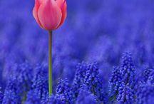 Flores-Túlipas