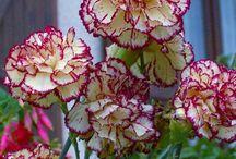 Flores cravos