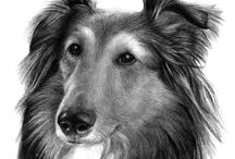 Shetland Sheepdog / Sheltie