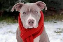PIT BULL / by JSD2013