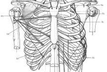 Anatómia / Anatómia, tanulmányok, koponyák, arányok