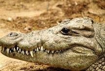 Crocodiles / by Animals Mad