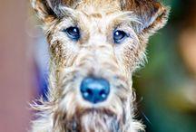 Фотография. Irish terrier / My love