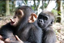 Primates: Chimps & Orangutans / by Paula Finney
