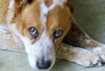 Cattle Dog / Everything about Cattle Dogs / by Desiree Crutchfield