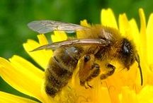Plants for bees / Bee friendly plants to grow in your garden