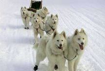 Sled Dogs!!! / Sled Dogs in action and more!!!