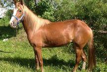 Paso Fino!! / Paso Fino Ponies And Horses!!!