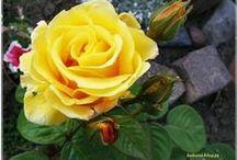 KWIATKI z mej rabatki /  moje śliczne kwiatki :)