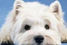 Dogs - Westie <3 / I miss my westie!